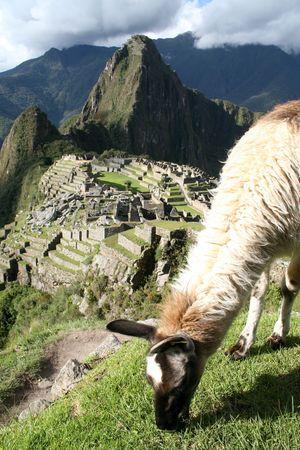 the lama: Lama grazing above Machu Picchu in Peru