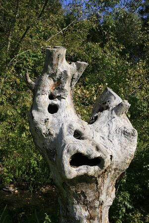 tree trunk shaped like a face