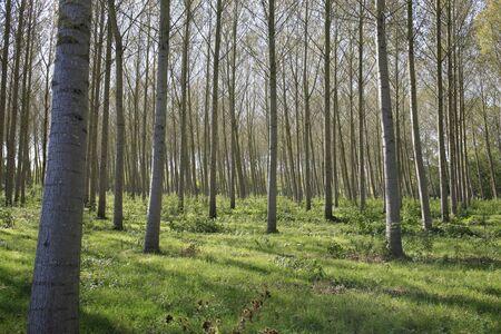 Poplar in the Marais Poitevin 免版税图像