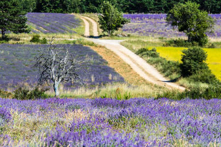 real lavender, in Haute-Provence Foto de archivo