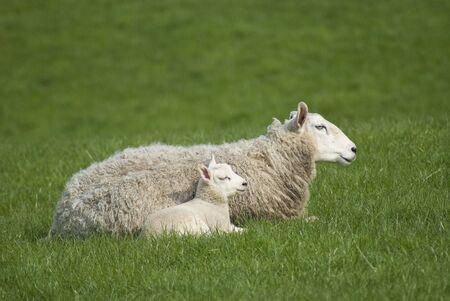 ewe: Ewe and lamb