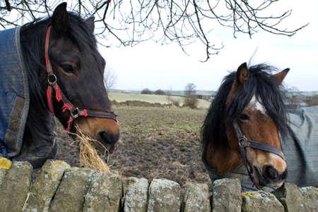 dos caballos medio close up mirando hacia la derecha del marco de  Foto de archivo - 4540195