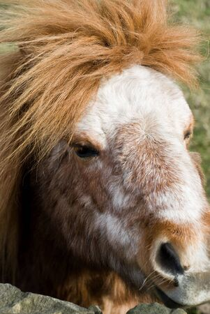 bedraggled: close up of pony head brown mane and white face