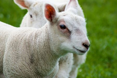 medium close up: Medium close up of lamb with other lamb in background