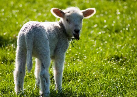 facing right: Spring lamb turning facing viewer with grass in mouth