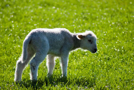 facing right: Single spring lamb standing facing right backlit Stock Photo