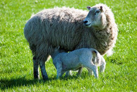 ewe: Left facing ewe suckling lamb with head underneath