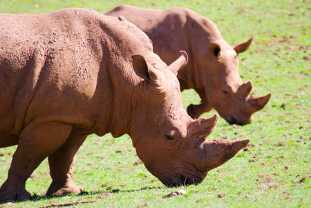facing right: Two white rhinos facing right in profile grazing Stock Photo