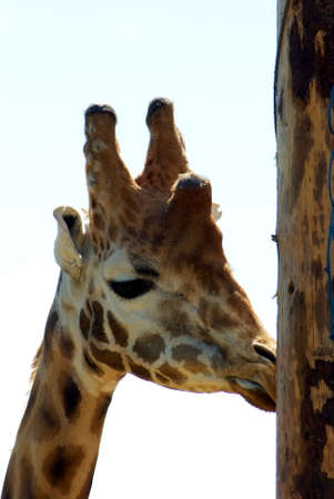 facing right: Giraffe head in profile facing right licking wooden post Stock Photo