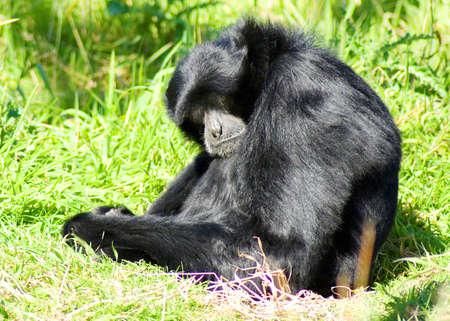 siamang: Siamang gibbon sitting with head down looking at viewer