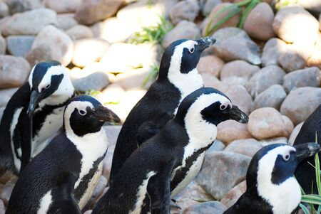 facing right: Group of black footed penguin facing right Stock Photo