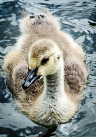gosling: close up of gosling Stock Photo