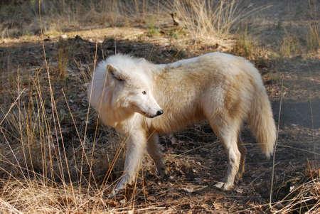 backwoods: Polar wolf