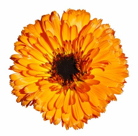 Orange daisy flower isolated over white background Stock Photo - 2563049