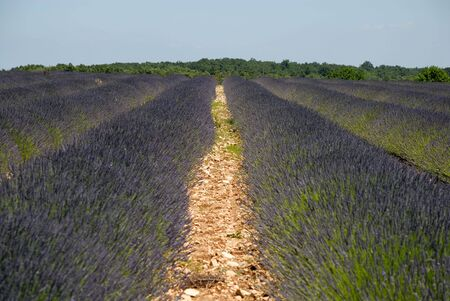 lavendin: Lavender field in the Provence, France