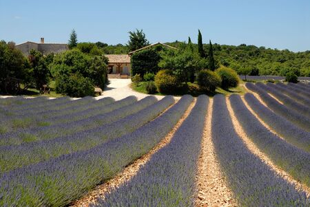 lavendin: Farm and lavender field in the Provence, France