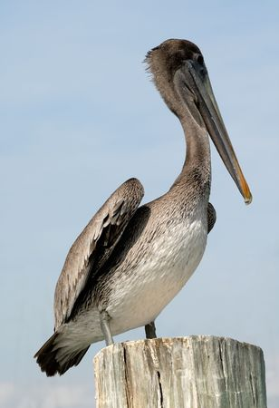 corpus: Pelican in Corpus Christi, TX USA Stock Photo