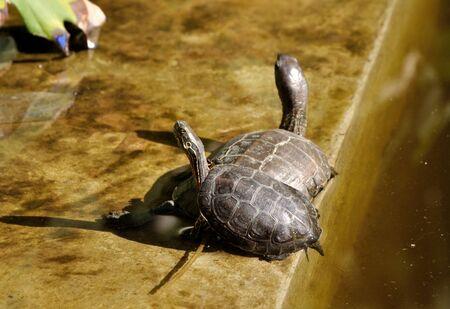 sunbath: Red-eared schildpadden nemen een zonnen