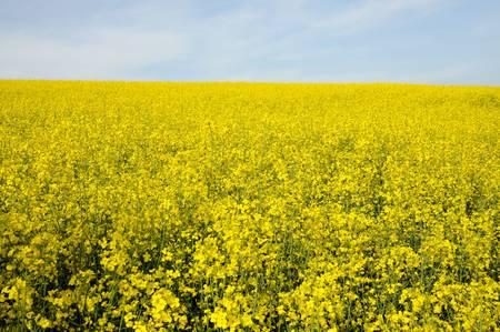 oilseed: Vibrant Oilseed Rape Field