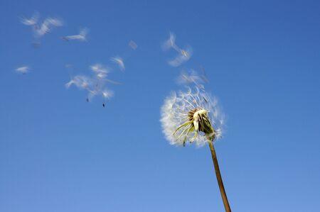 blowball: Blowball against blue sky Stock Photo