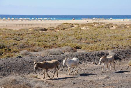 Donkey in Jandia Playa, Canary Island Fuerteventura, Spain photo