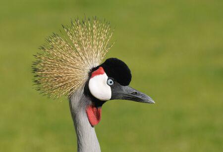 Grey Crowned Crane. Canary Island Fuerteventura, Spain photo