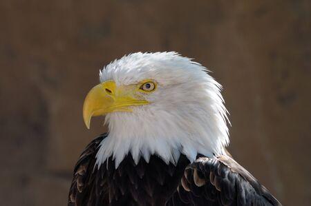 American Bald Eagle Portrait photo