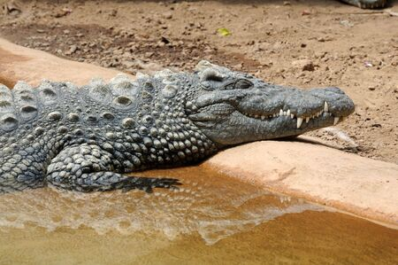 dozing: Alligator dozing in the sun Stock Photo