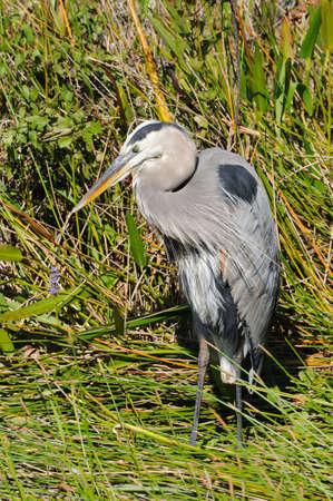 herodias: Great Blue Heron (Ardea Herodias) in the Everglades, Florida