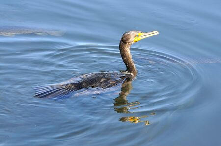 Anhinga swimming along water showing reflection of head and neck. photo