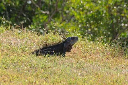 Wild Iguana on Key West, Florida USA photo