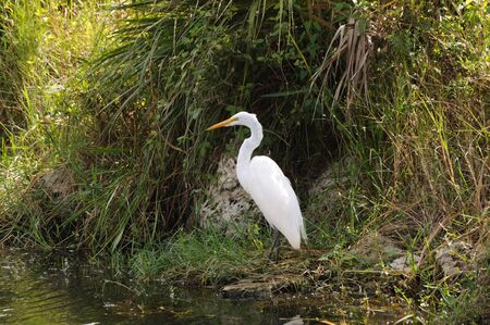 Great white Egret in the Everglades National Park, Florida Stock Photo - 6092739