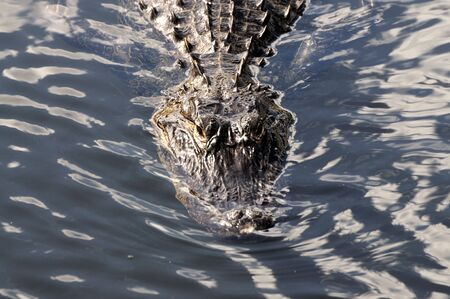 Alligator in the Everglades National Park, Florida USA photo