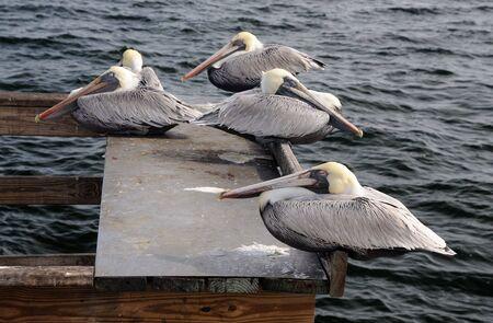 Pelicans in St. Petersburg, Florida USA photo