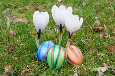Colorful easter eggs under white crocus flowers photo