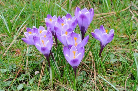 croci: Beautiful blooming purple crocus flowers