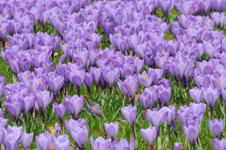 croci: Beautiful purple crocus flowers flowerbed