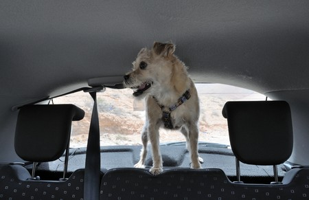 Dog inside of a car photo