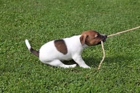 beagle terrier: Jack Russel Terrier tugging on a rope