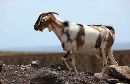 wild goat: Cabra salvaje en Canarias isla de Fuerteventura, Espa�a