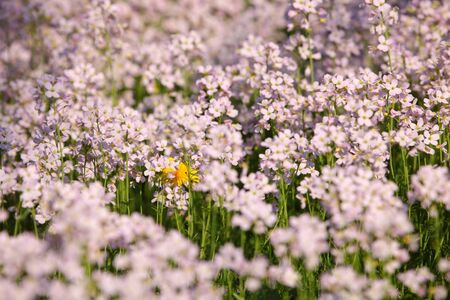 Beautiful meadow with cuckoo flowers in spring photo