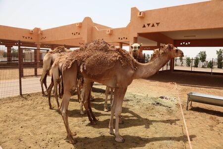 Camel Market in Al Ain, Emirate of Abu Dhabi, United Arab Emirates