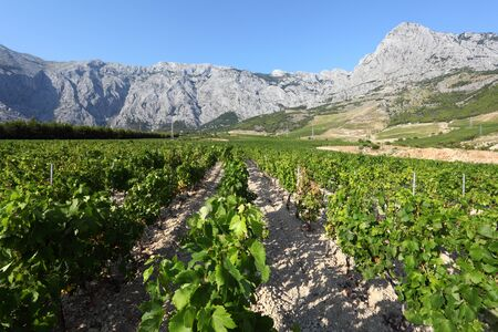 Далмация: View of a vineyard in Dalmatia, Croatia