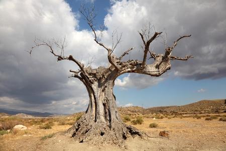 sequias: Árbol muerto en el desierto Foto de archivo