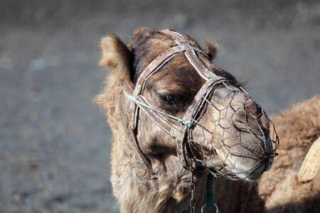 timanfaya: Camel esperando a los turistas en el Parque Nacional de Timanfaya, Lanzarote Espa�a