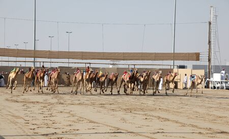 Camel race start in Doha Qatar, Middle East. Photo taken at 7th of January 2012