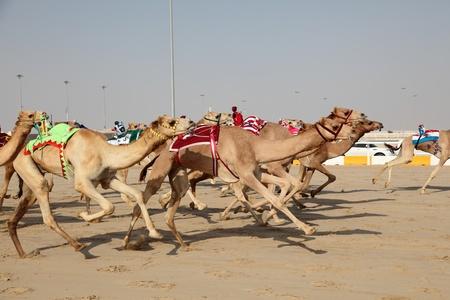 running camel: Racing camels with a robot jockeys, Doha Qatar Stock Photo