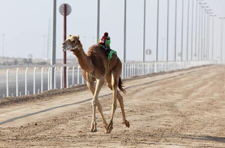 running camel: Racing camel with a robot jockey, Doha Qatar Stock Photo