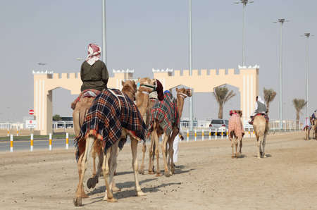running camel: Racing camels on the way to race course in Doha, Qatar. Photo taken at 7th January 2012 Editorial