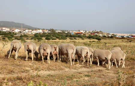Flock of sheep in Andalusia, Spain photo